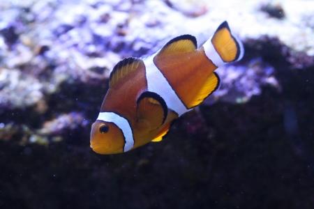 Clown anemonefish Stock Photo - 17580479