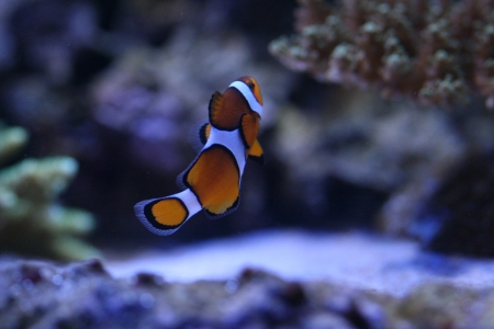 Clown anemonefish Stock Photo - 17614243