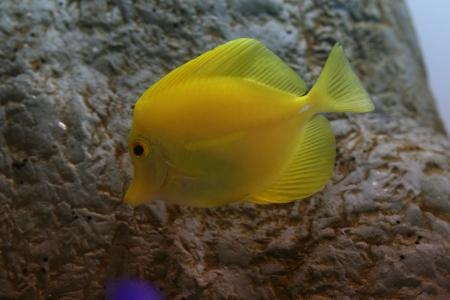 yellow tang Stock Photo - 17632974