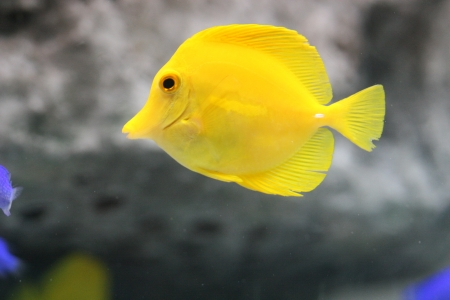 yellow tang Stock Photo - 17595530