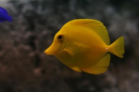 yellow tang: yellow tang Stock Photo