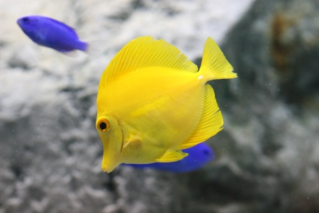 yellow tang Stock Photo - 17612570