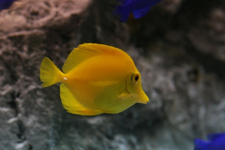 yellow tang Stock Photo - 17594287