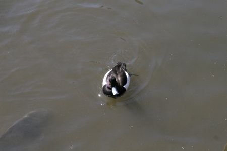 wild duck Stock Photo - 18240031