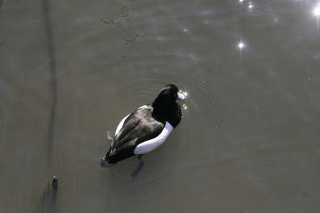 wild duck Stock Photo - 18240032