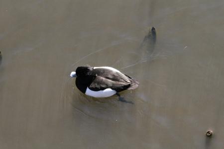 wild duck Stock Photo - 18240007