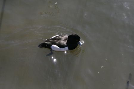 wild duck Stock Photo - 18240003