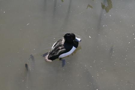 wild duck Stock Photo - 18239972