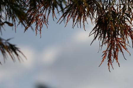 palmatum: acer palmatum Stock Photo