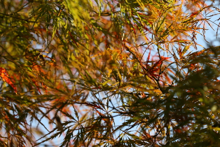 acer palmatum: acer palmatum Stock Photo