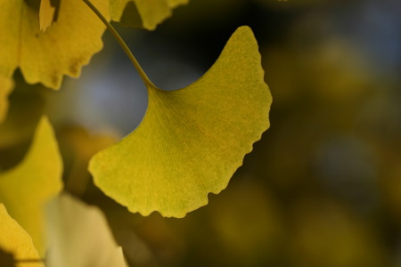 ginkgo leaf: ginkgo leaf