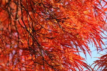 acer palmatum: acer palmatum Stock Photo