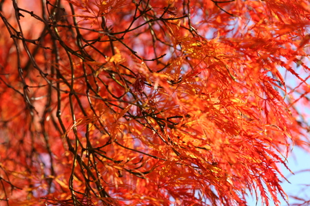 palmatum: acer palmatum Stock Photo