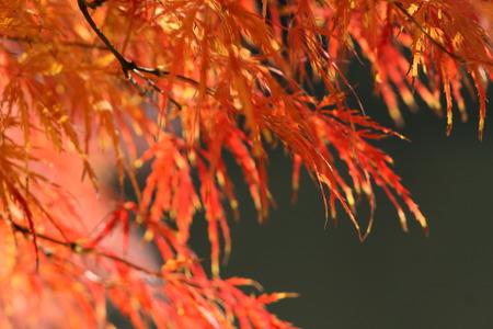 acer: acer palmatum Stock Photo