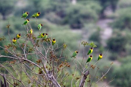 Yellow-collared Lovebird (Agapornis personatus), also called Masked Lovebird or Eye Ring Lovebird in Tarangiri National Park, Tanzania