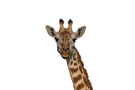 Closeup portrait of the face of a giraffe against white background Stock Photo