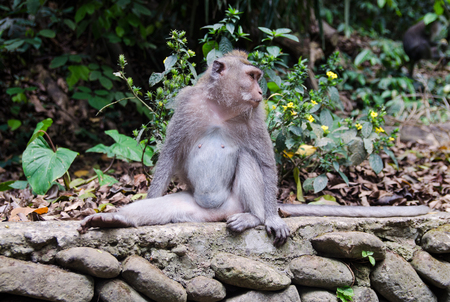 Macaque monkey in the forest. The national park of Bali, Ubud. Stock image. 版權商用圖片