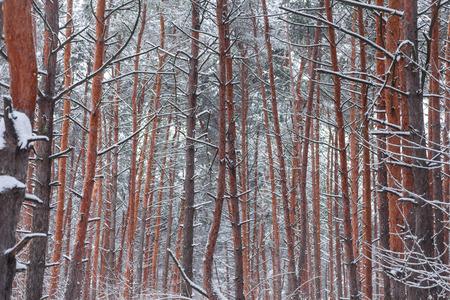 coniferous: coniferous forest in winter