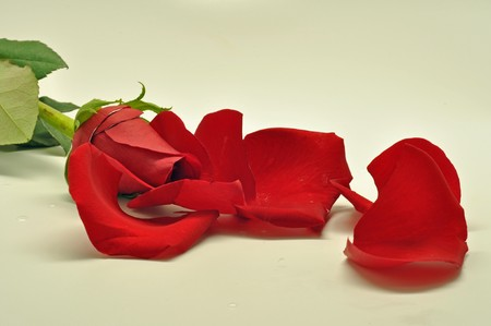 red rose and petals Stock Photo