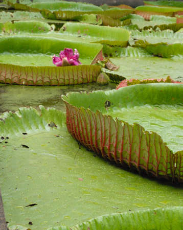 royal waterlily photo