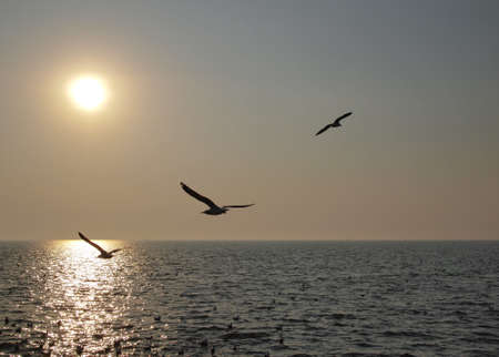immigrate: Flying Seagull at sunset