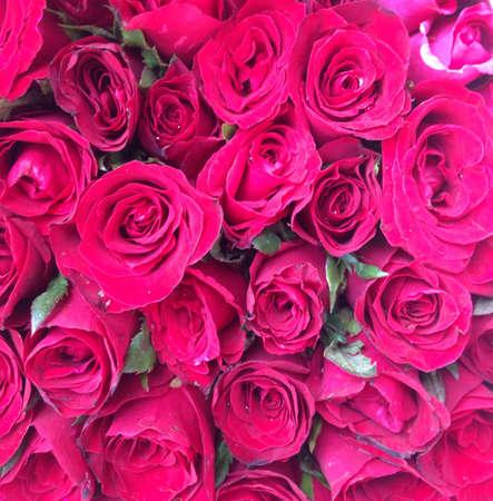 rosas rojas: Rosas rojas de fondo Foto de archivo
