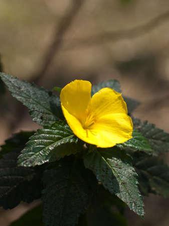 yellow alder: yellow sage rose Stock Photo