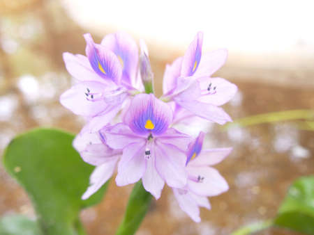 water hyacinth: purple flowers of Water Hyacinth Stock Photo