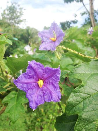 potato tree: Violet flowers of brazilian potato tree