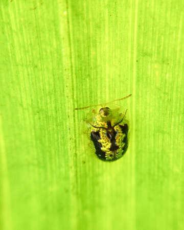 Opalescenr ladybug on palm leaf Stock Photo