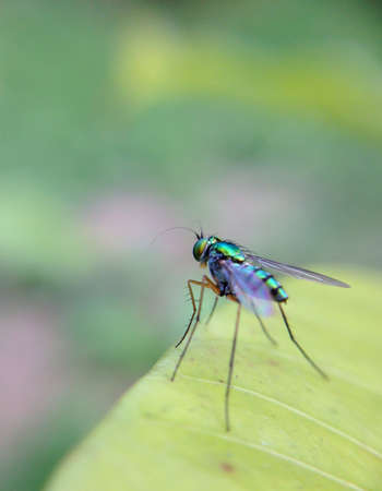 opalescent: Opalescent fruit fly