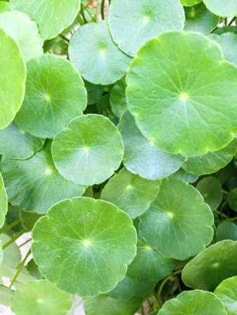 up: Close up of water pennywort background