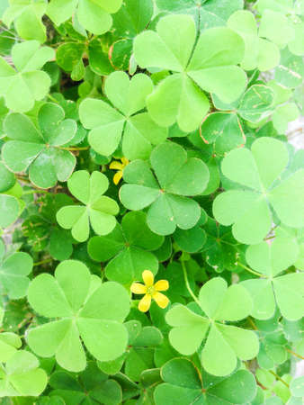 close: Close up of clover with yellow flower