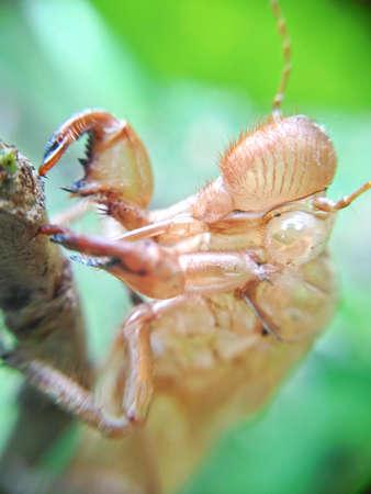 cicada bug: cicada slough off on the trunk Stock Photo