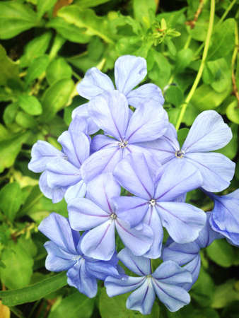 up: Close up of blue plumbago or cape leadwort Stock Photo