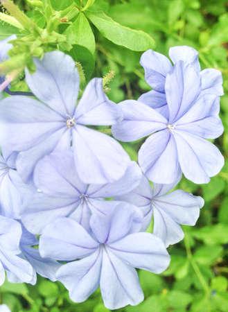 close: Close up of blue plumbago or cape leadwort Stock Photo
