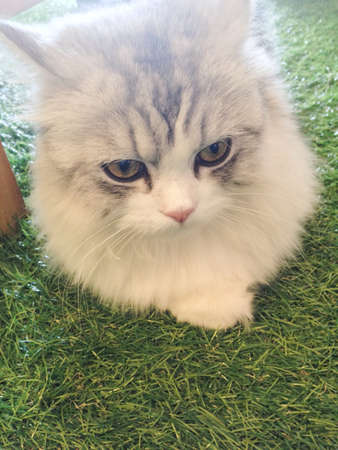 kitty cat: Kitty cat lay on green lawn