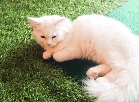 kitty cat: White sleepy kitty cat lay on green lawn Stock Photo