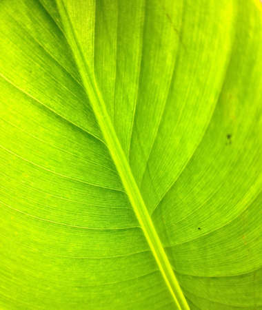 closeup: Close up of heliconia leaf