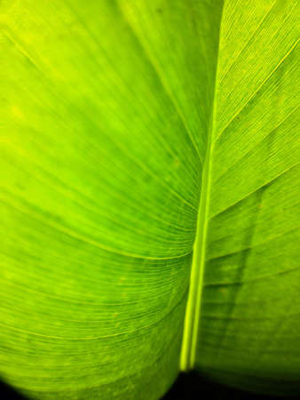 close: Close up of heliconia leaf
