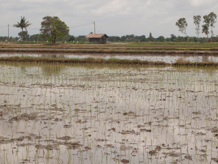 working farmers grow green rice on wet paddy