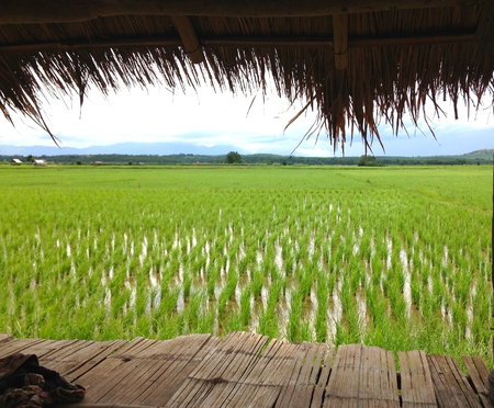field of green rice or paddy with terrace and mountain background