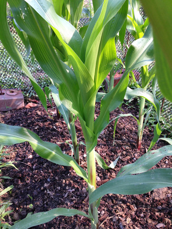 close up of green corn field or garden at backyard Stock Photo