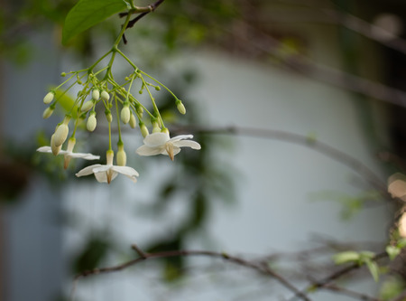 close up of white flower or wrightia religiosa with blur background Stock Photo