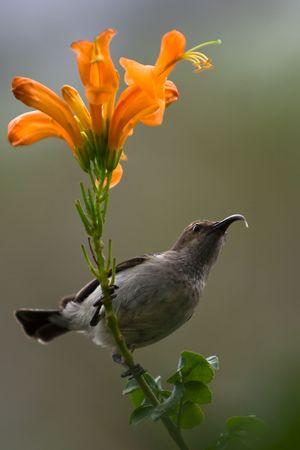 sunbird: Sunbird about to feed