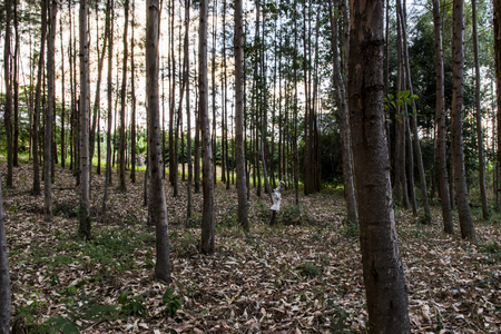 Eucalyptus forest with dry leaves on the ground