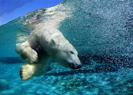 Polar bear diving in San Diego zoo