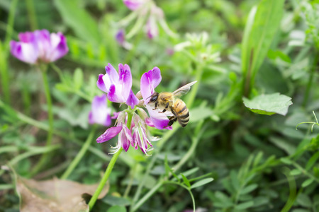 industrious: The industrious bee Stock Photo