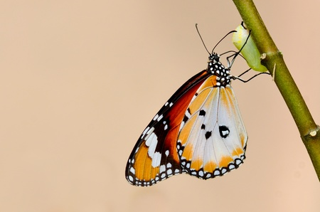 papilio: butterfly kiss the pupa Stock Photo