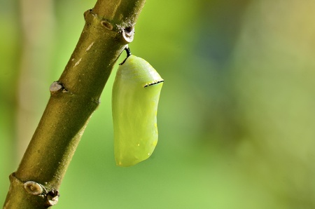 caterpillar: pupa of Plain Tiger Butterfly